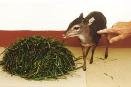 A Blue duiker at home at Penn State.