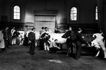 Cattle judging class in the 1930s