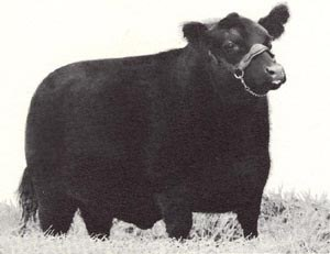 Beef Cattle - 3