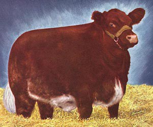 Beef Cattle - 5