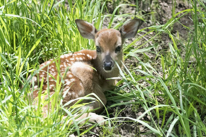 This 4-day old fawn was one of six born over the past weekend at the Penn State Deer Research Center. The annual fawning season is normally the last two weeks of May with the peak-time for births being around Memorial Day.