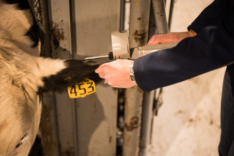A Holstein steer gets a hormone implant in its ear.