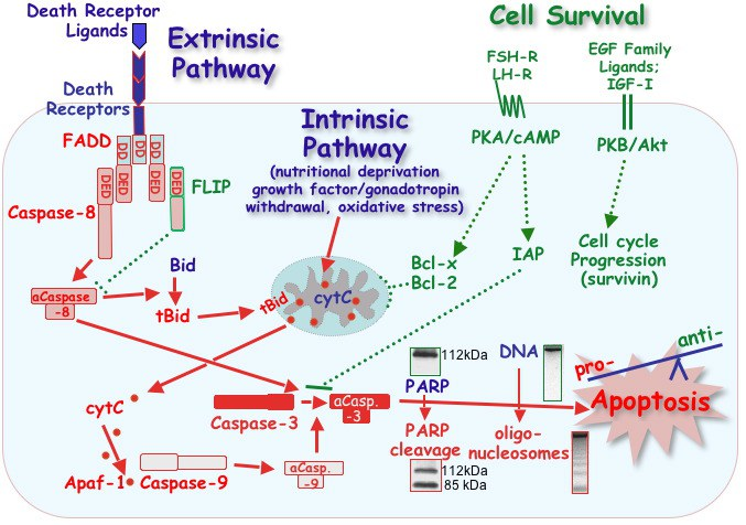 apoptosis model